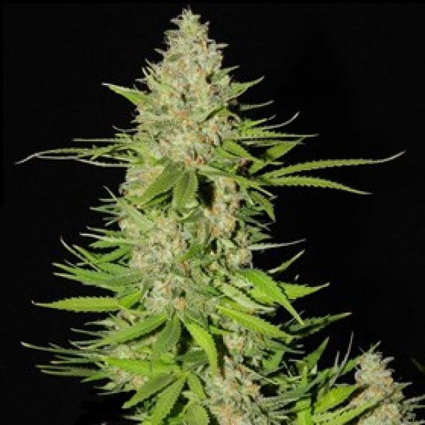 Blueberry Gum #2 Feminised Cannabis Seeds | G13 Labs