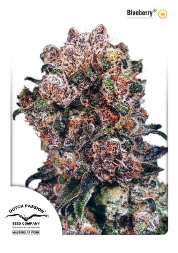 Blueberry Regular Cannabis Seeds | Dutch Passion
