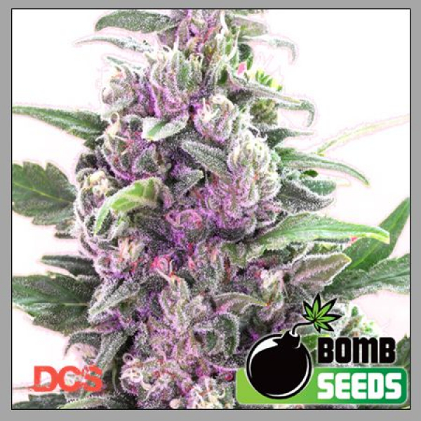 THC Bomb Feminised Cannabis Seeds   Bomb Seeds