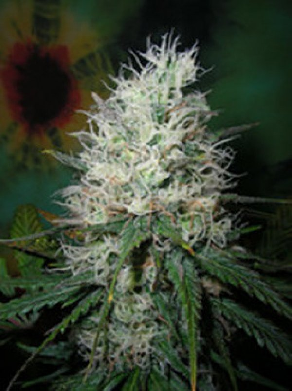 Afghani Dream Auto Feminised Cannabis Seeds | British Columbia