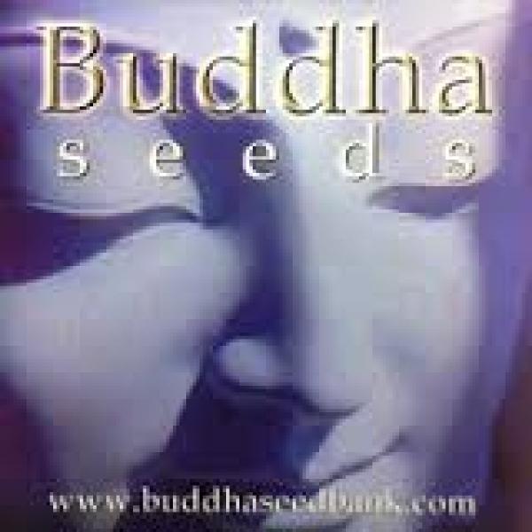 Buddha Cannabis Seeds   Discount Cannabis Seeds