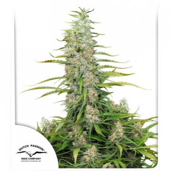 C-Vibez Feminised Cannabis Seeds | Dutch Passion