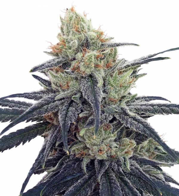 CBD #1 Feminised Cannabis Seeds | Ace Seeds