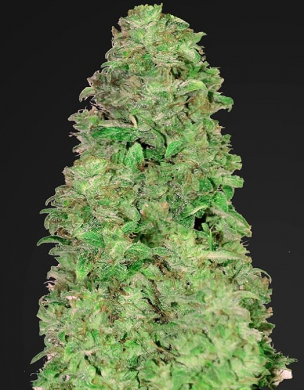 CBD Auto 20:1 Feminised Cannabis Seeds | Fast Buds