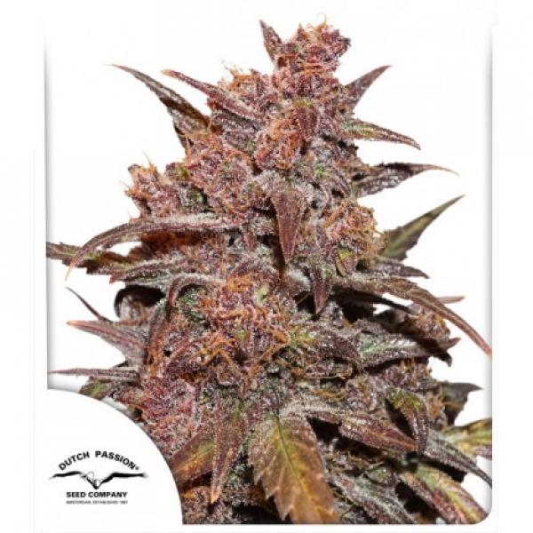 CBD Auto Blackberry Kush Feminised Cannabis Seeds | Dutch Passion