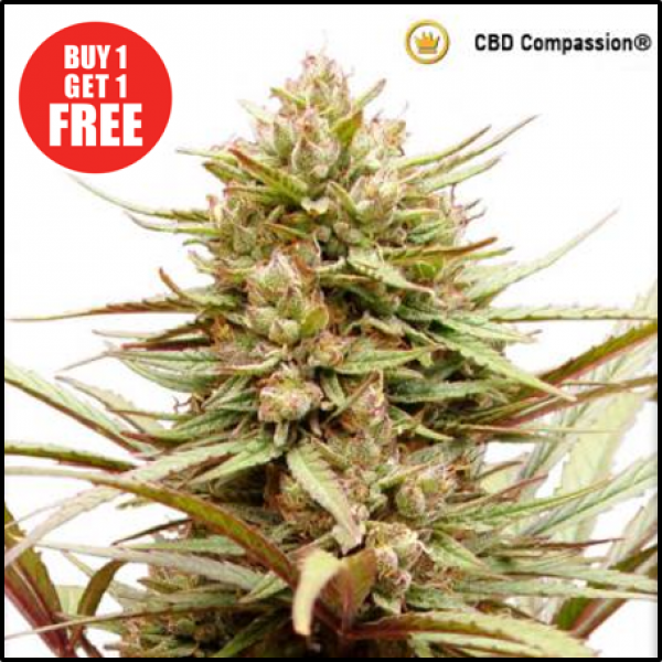 ComPassion Feminised Cannabis Seeds | Dutch Passion