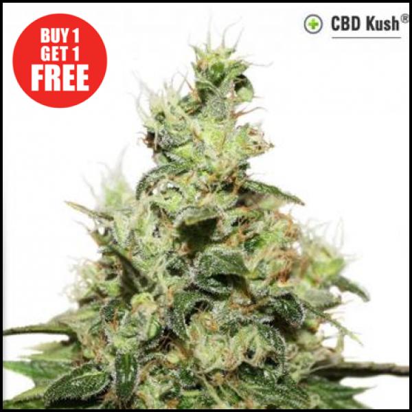 CBD Kush Feminised Cannabis Seeds   Dutch Passion