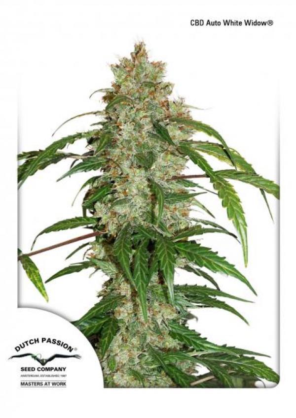 CBD Auto White Widow Feminised Cannabis Seeds | Dutch Passion