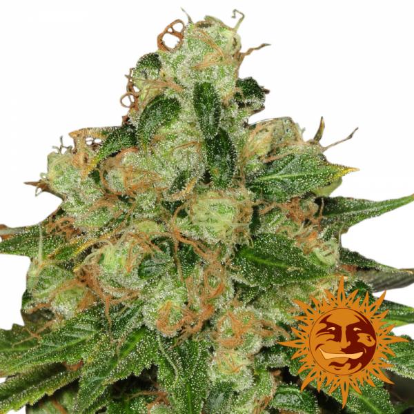 CBD Caramel Regular Cannabis Seeds | Barney's Farm
