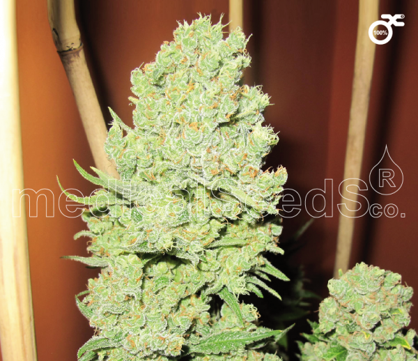 Channel + Feminised Cannabis Seeds | Medical Seeds