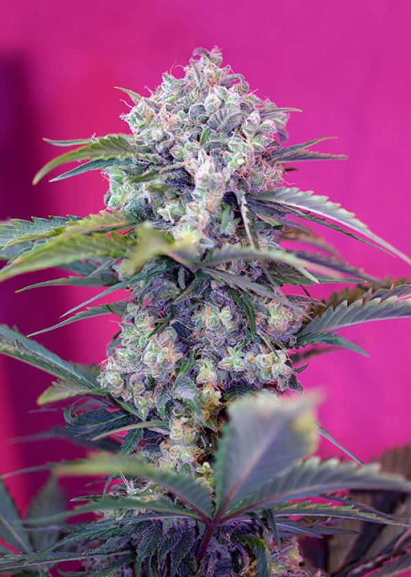 Cream Mandarine Auto Feminised Cannabis Seeds