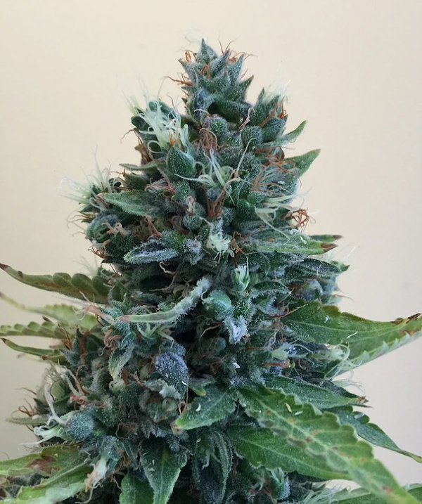Cropolope Feminised Cannabis Seeds | Cream Of The Crop