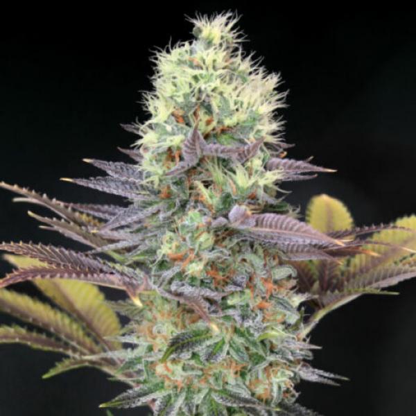Cali Bay Dream Feminised Cannabis Seeds | Garden of Green