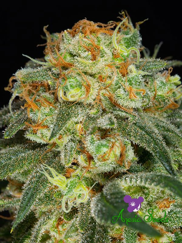 California Kush Feminised Cannabis Seeds - Anesia Seeds
