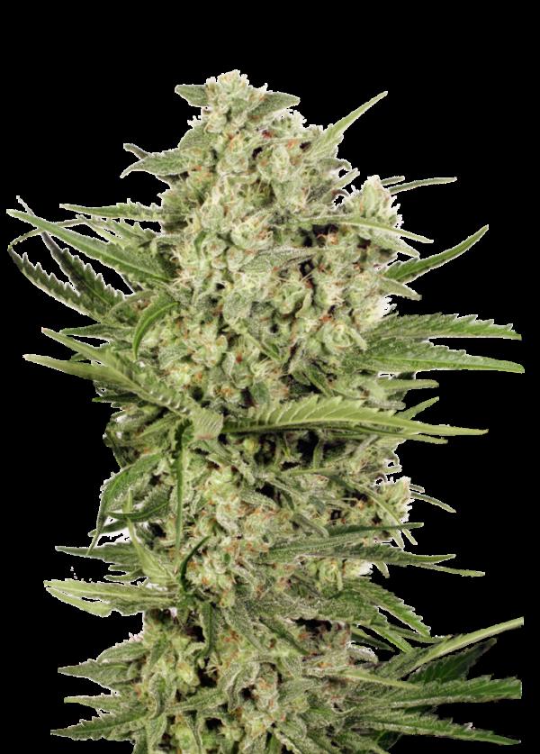 Cheese Feminised Cannabis Seeds | Seed Stockers