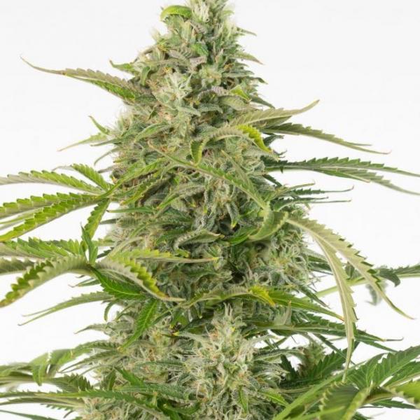 Cheese CBD Auto Feminised Cannabis Seeds - Dinafem Seeds