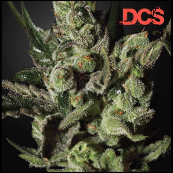 Cheese Feminised Cannabis Seeds   Discount Cannabis Seeds
