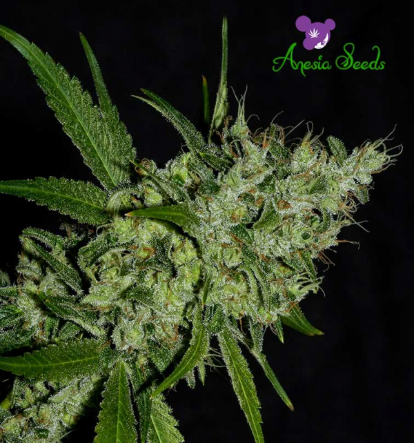 Chemdog Feminised Cannabis Seeds - Anesia Seeds