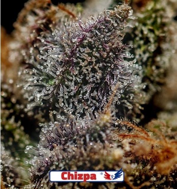 Chizpa Feminised Feminised Cannabis Seeds   Positronics