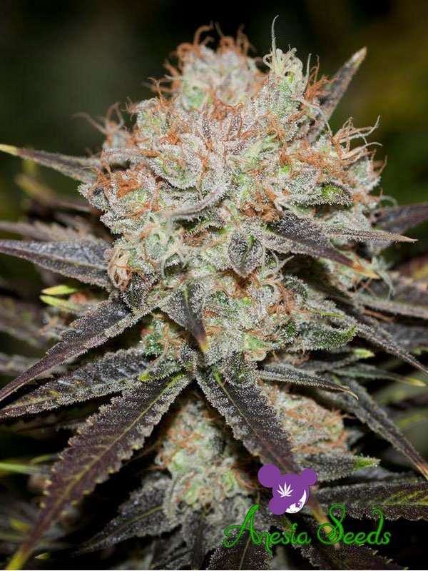 Chocolate Haze Feminised Cannabis Seeds - Anesia Seeds