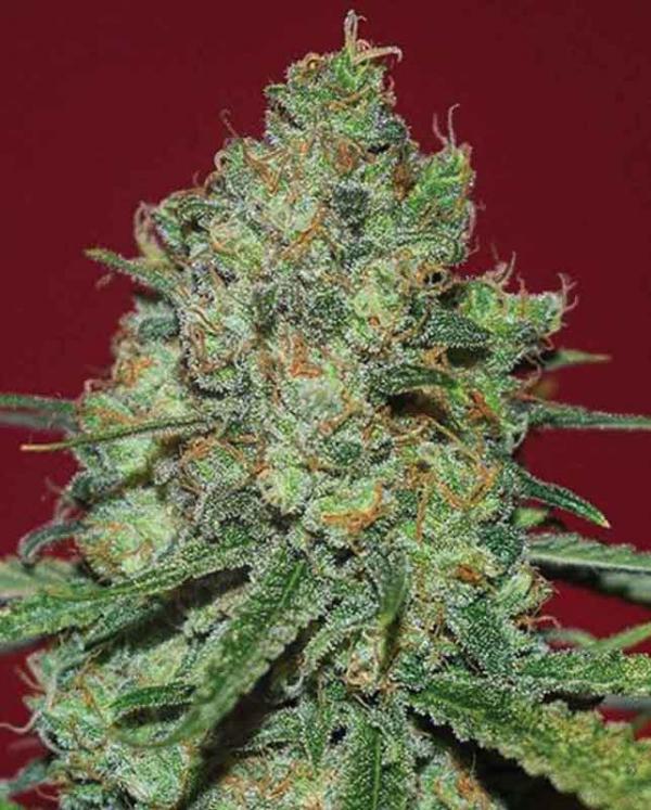 Clinical White CBD Feminised Cannabis Seeds   Expert Seeds