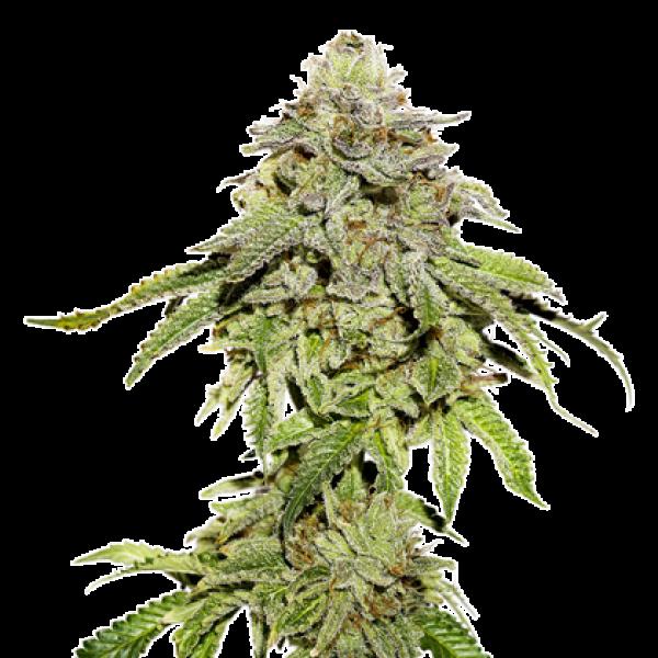Cookies and Cream Feminised Cannabis Seeds | Seed Stockers
