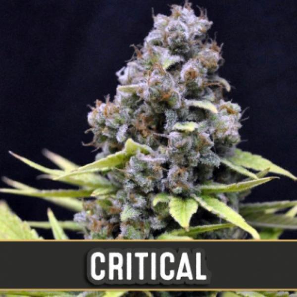 Critical Automatic Feminised Cannabis Seeds | Blim Burn Seeds