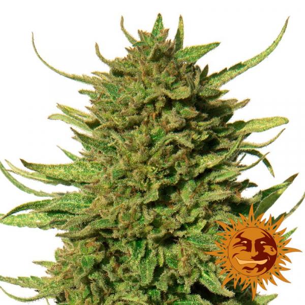 Critical Kush Feminised Cannabis Seeds   Barney's Farm