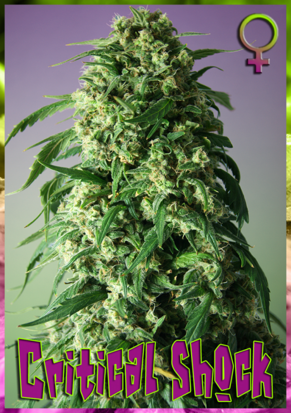 Critical Shock Feminised Cannabis Seeds | Rockwell Seeds