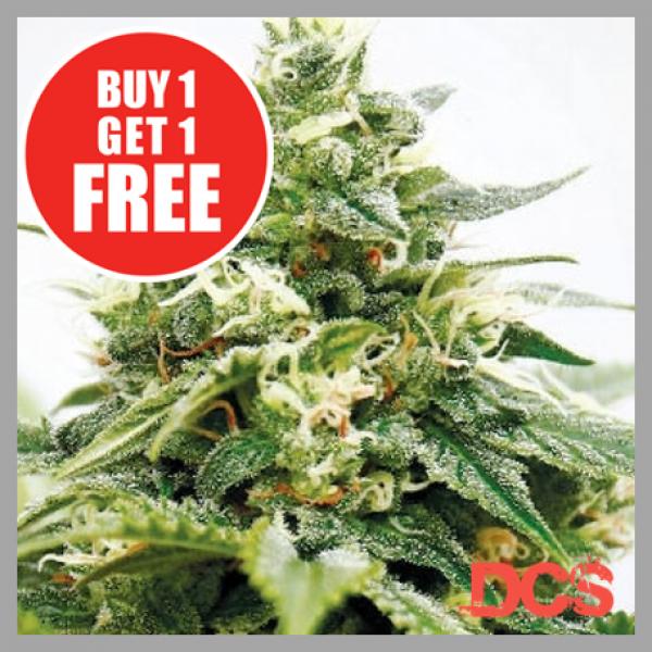 Critical XXL Feminised Cannabis Seeds | Discount Cannabis Seeds