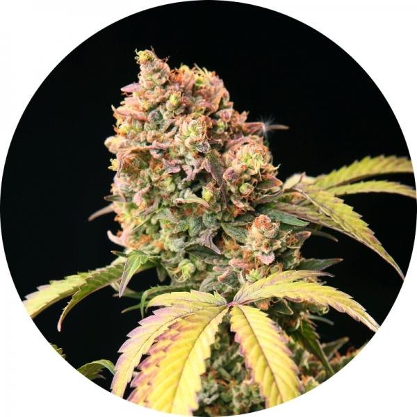 Demon Auto Tao Regular Cannabis Seeds