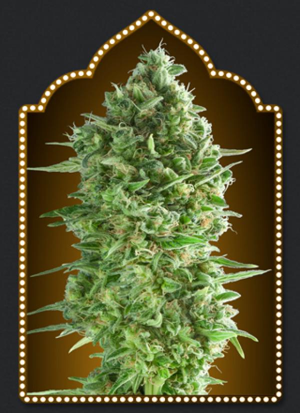 Do-Si-Do Cookies Feminised Cannabis Seeds | OO Seeds