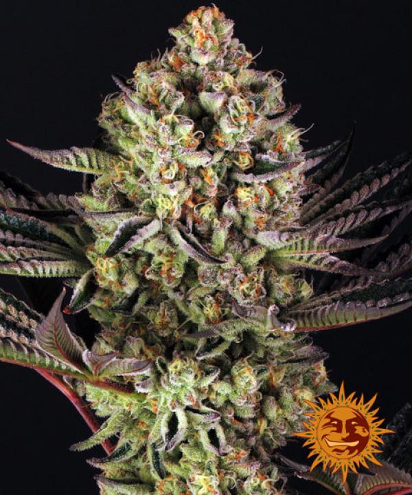 Dos-Si-Dos #33 Feminised Cannabis Seeds | Barney's Farm
