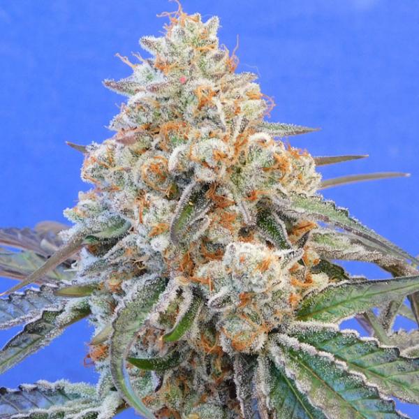Do-Si-Dos OG Feminised Cannabis Seeds | Original Sensible Seeds