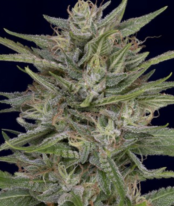 Don AK Feminised Cannabis Seeds | Don Avalanche Seeds