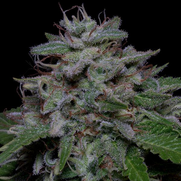 Don Do Si Glue Feminised Cannabis Seeds   Don Avalanche Seeds