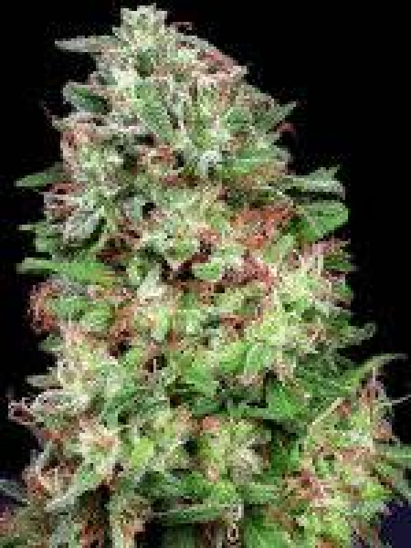 Don White Widow Feminised Cannabis Seeds   Don Avalanche Seeds