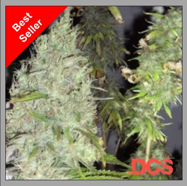 Incredible Bulk Cannabis Seeds | Dr Krippling