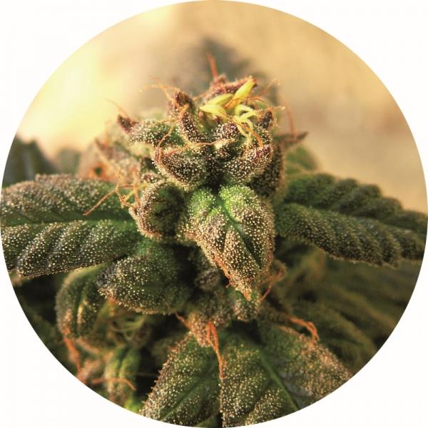 Early Top Tao Regular Cannabis Seeds
