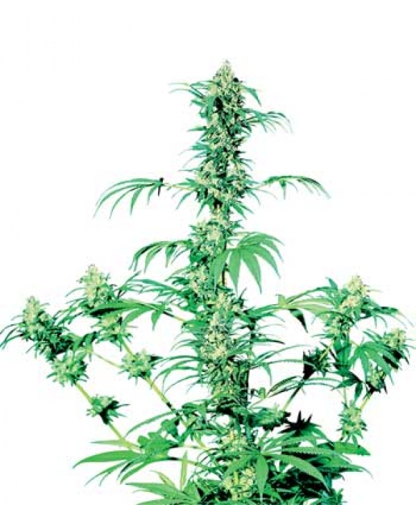 Early Girl Regular Cannabis Seeds | Sensi Seeds