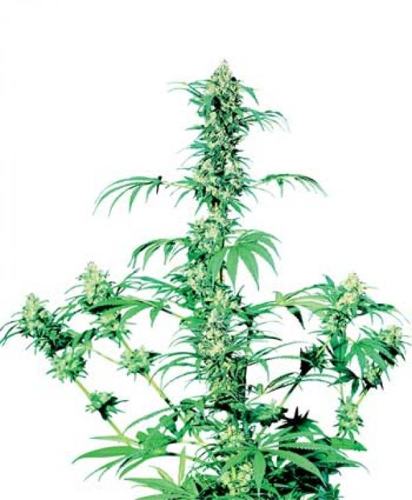 Early Girl Regular Cannabis Seeds   Sensi Seeds