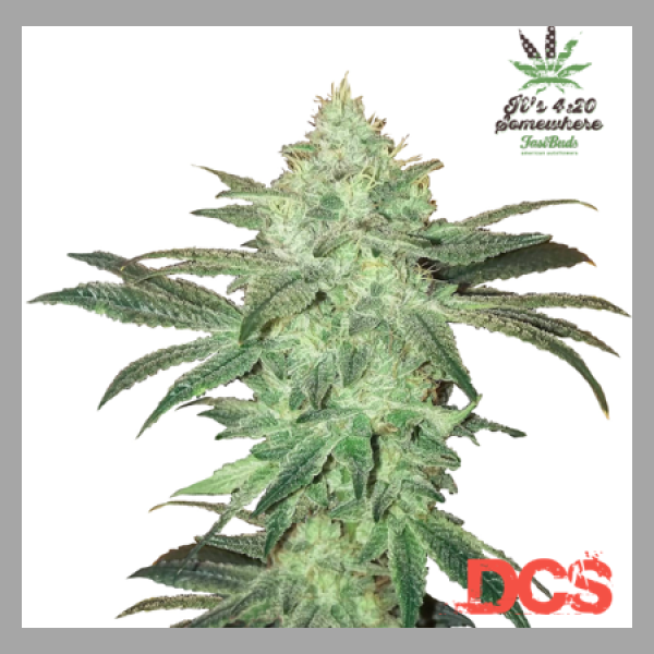 Stardawg Auto Feminised Cannabis Seeds | Fast Buds