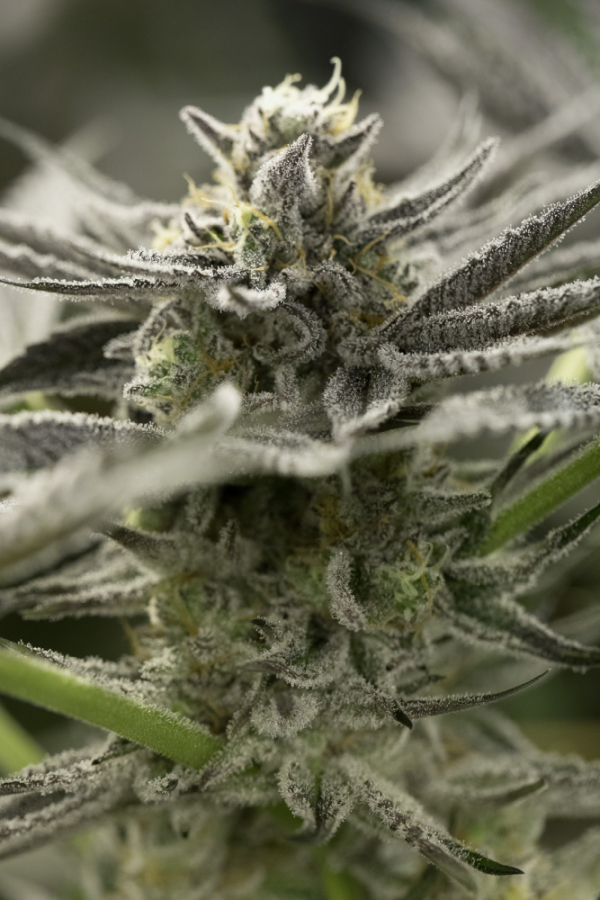 OGKZ Fast Flowering Feminised Cannabis Seeds | Humboldt Seeds Organisation