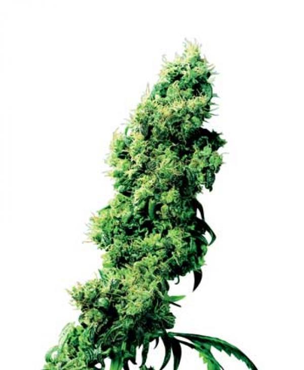 Four Way Regular Cannabis Seeds | Sensi Seeds