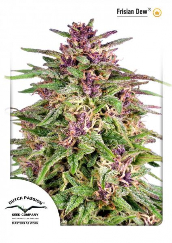 Frisian Dew Feminised Cannabis Seeds | Dutch Passion