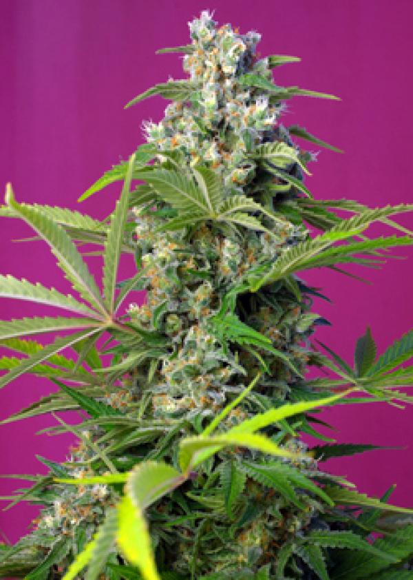 Gorilla Girl Feminised Cannabis Seeds | Sweet Seeds