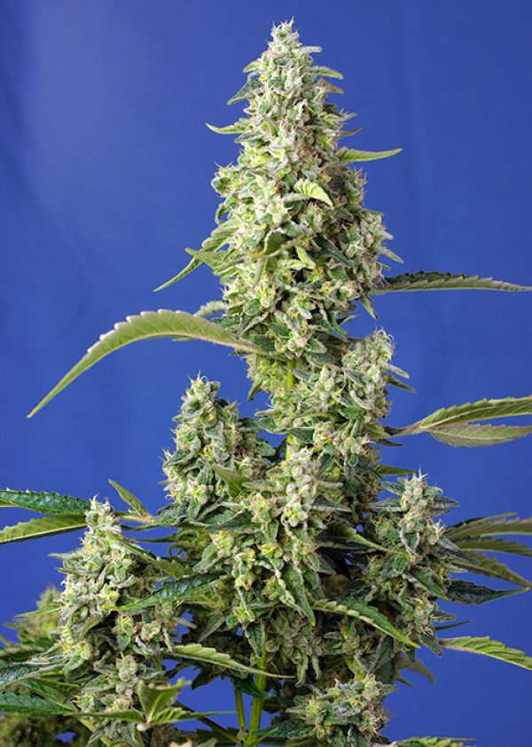 Gorilla Girl XL Auto Feminised Cannabis Seeds | Sweet Seeds