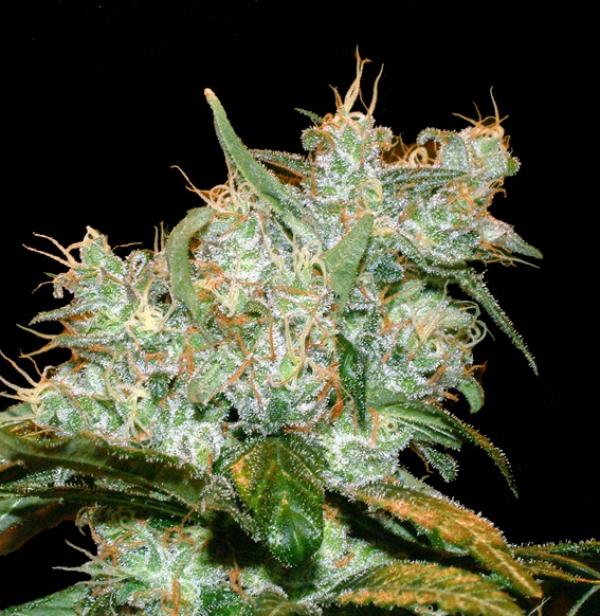 AK Auto Goxuak Feminised Cannabis Seeds