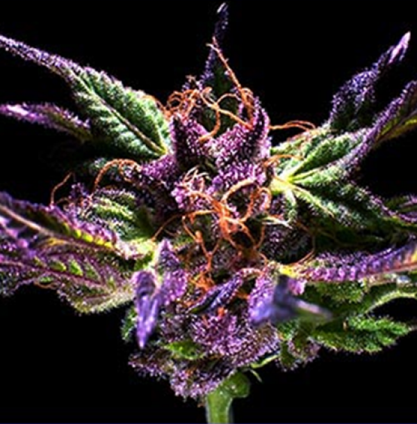 Original Grand Daddy Purp Regular Cannabis Seeds | Grand Daddy Purp