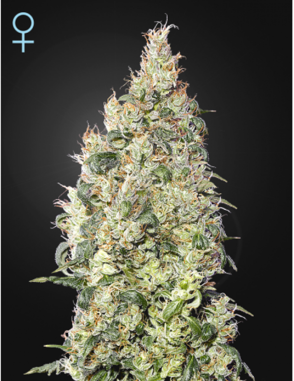 Great White Shark CBD Feminised Cannabis Seeds | Green House Seeds